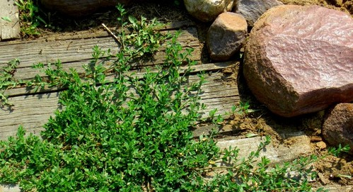 Трава спорыш для похудения